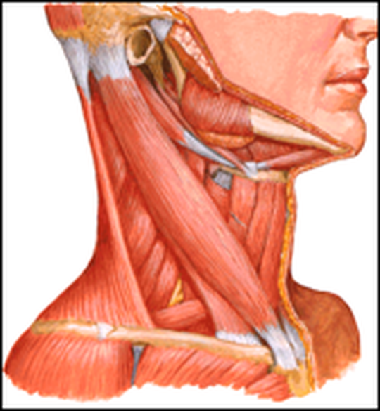 Tight Muscles Of The Upper Back And Neck Roland Jeffery Physiotherapy